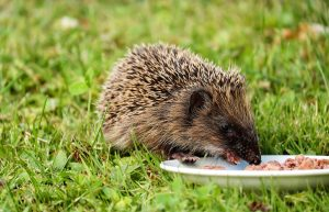 Hedgehog eating